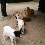 Het Heijderbos kinderboerderij geitjes