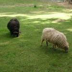 Het Heijderbos schapen